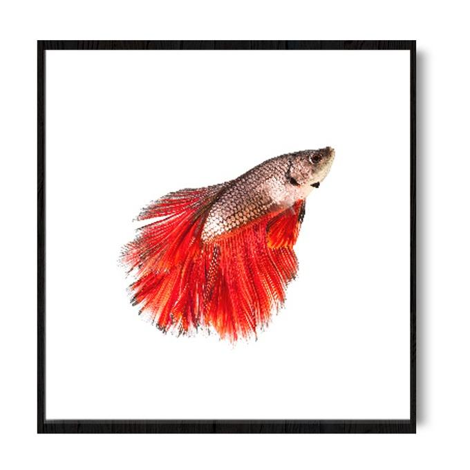 TRANH ORANGE BETTA FISH