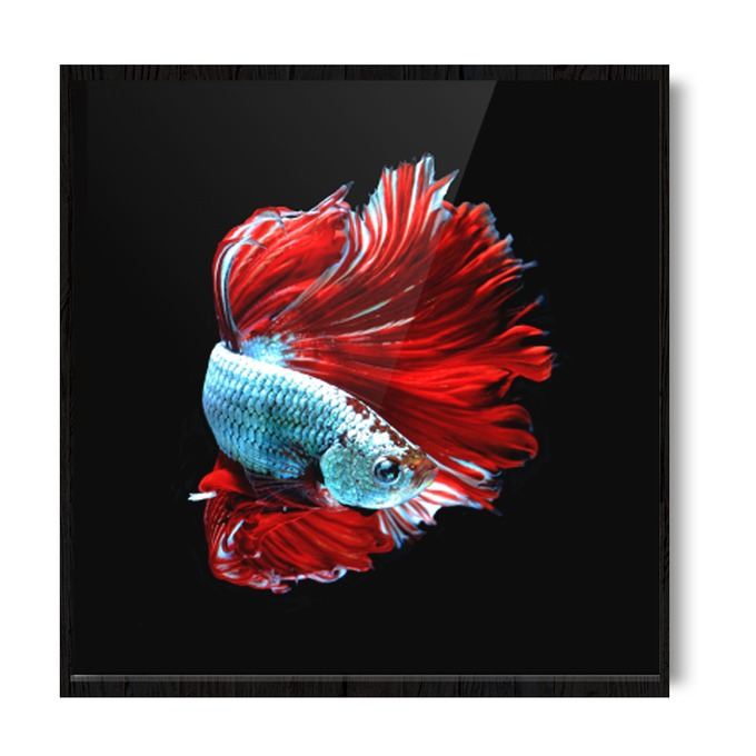 TRANH SIAMESE FISH (BETTA FISH)