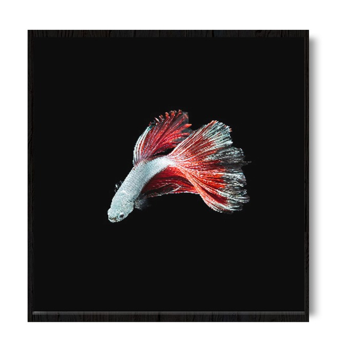 TRANH WHITE FIGHTING FISH